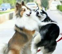 哈士奇狗动物打架搞笑表情包图片