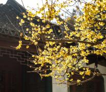 黄色粉色腊梅花植物高清图片