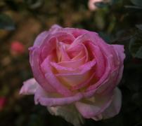 各�N�色的月季花植物高清�D片