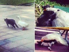 猫鸭子动物可爱搞笑图片