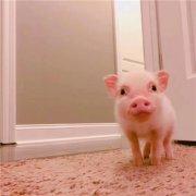 萌宠乌克兰小乳猪动物可爱微信头像大全