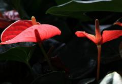 红掌花植物高清特写图片