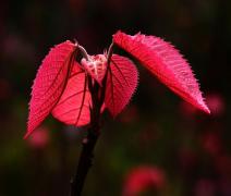 植物山麻杆高清特写图片