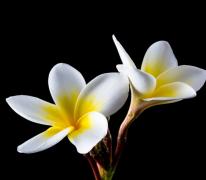 鸡蛋花植物高清特写图片