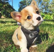 三个月小柯基幼犬可爱图片大全