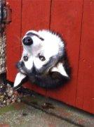 搞笑可爱狗狗哈士奇表情包大全