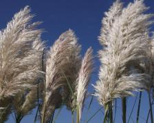 野生芦苇丛植物高清图片