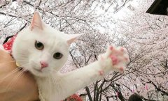 樱花和猫合照可爱萌宠图片大全