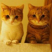 小短腿曼赤肯猫可爱萌宠图片大全