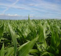玉米田农作物植物高清图片