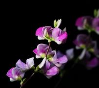 紫�t色的扁豆花植物高清特���D片