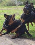 狗动物打架搞笑表情包图片