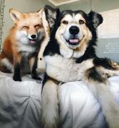 网红狐狸和牧羊犬可爱动物CP图片