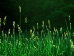 杂草狗尾巴草植物高清图片