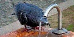 鸟动物水龙头喝水搞笑图片