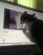 猫动物见偶像舔电脑屏幕搞笑图片