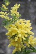 黄色的含羞草花朵植物高清图片