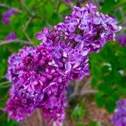 紫色丁香花植物高清图片