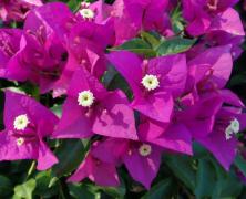 紫红色三角梅花朵植物高清图片