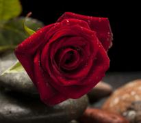 沾水滴的红色玫瑰花植物高清图片