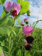 园林植物豌豆花的图片
