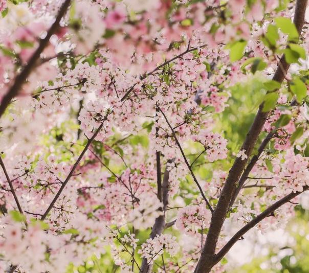 粉色的樱花树林图