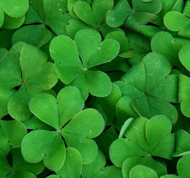 嫩绿的三叶草高清图片