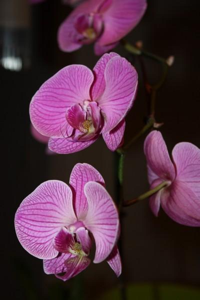 粉红色的蝴蝶兰花高清图