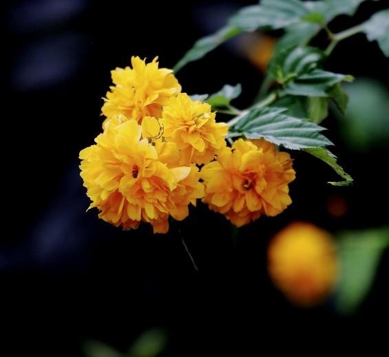 �S色的棣棠花�D片
