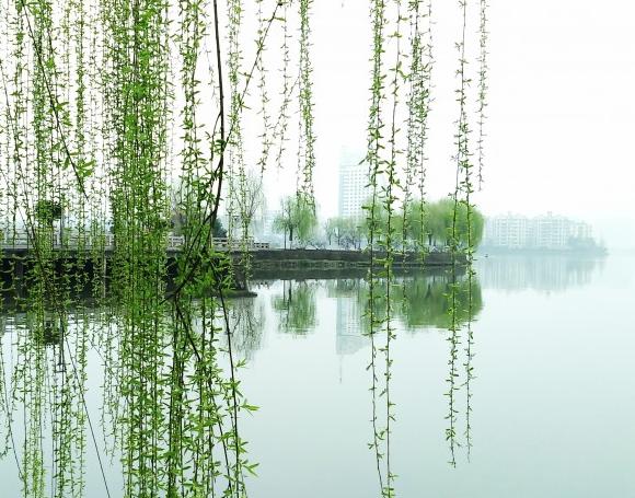 弯垂的柳树图片