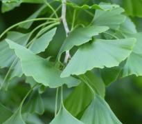 绿色的银杏树叶图片