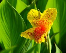 阳光下的美人蕉花朵图片