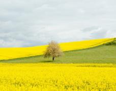 油菜花田的风景图片