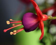 吊钟海棠花的高清特写图片