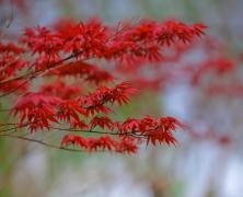 秋季火红色的枫叶图片