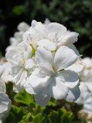 天竺葵的高清图片