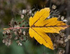 一片黄色的树叶图片