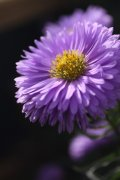 翠菊的高清特写图片