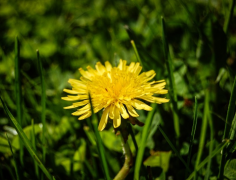 黄色的苦菜花图片