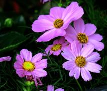 淡紫色波斯菊图片