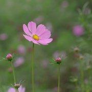 粉色的波斯菊�D片