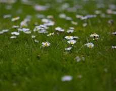 草地上的�r菊�D片