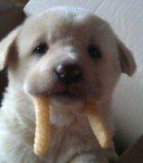 吃薯条的可爱狗狗图