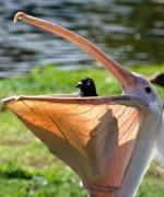 鹈鹕吃东西的搞笑图