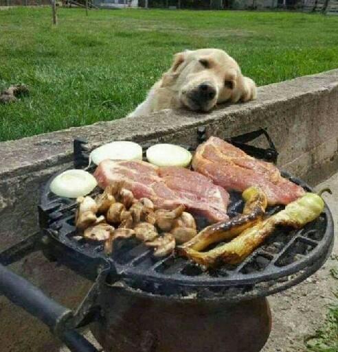 金毛狗狗贪吃嘴馋的搞笑图片