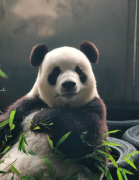 呆萌可爱的熊猫吃竹子图片