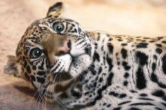 美洲豹可爱呆萌表情包图片