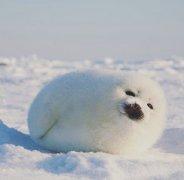 像糯米糍的格陵兰小海豹图片