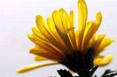五颜六色的菊花花卉壁纸