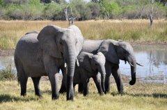 野生大象动物壁纸